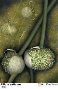 Allium sativum photograph - archival pigment print made from multiple scans of original objects - scanography