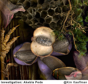 Investigation-AkebiaPods photographic collage made from scans of original objects by photographer Kim Kauffman