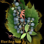 Fine art photographs by kim kauffman photo collage made with multiple scans of original botanical and nature objects titled Florilegium